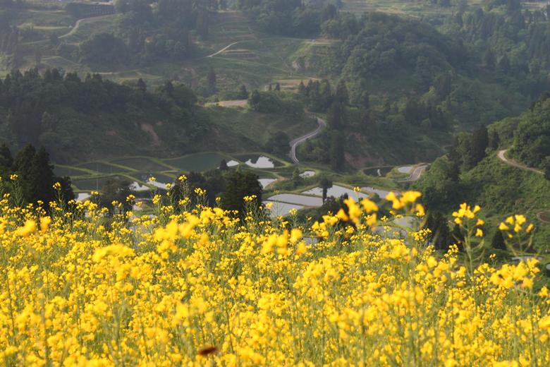 菜の花が咲く春の山古志