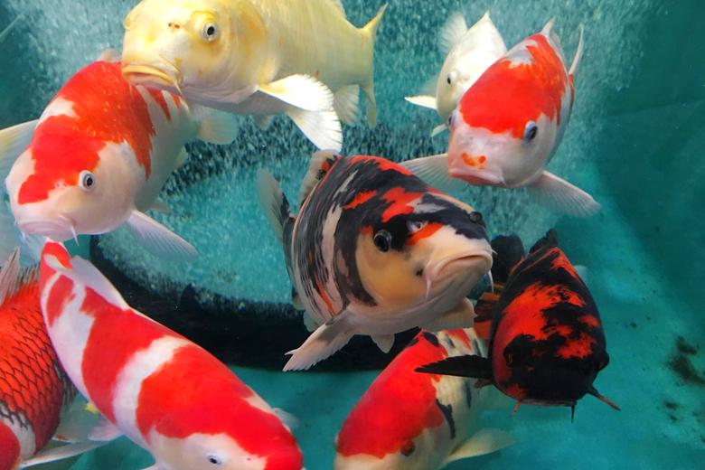 水槽の中で泳ぐ錦鯉