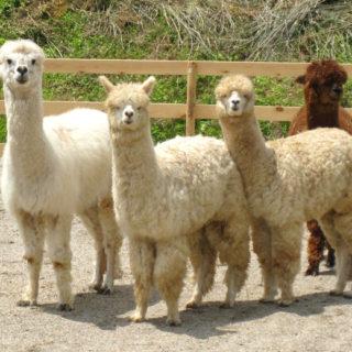 アルパカ牧場のアルパカたち