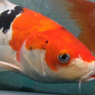 ニックネーム「石原さとみ」と呼ばれる鯉
