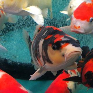 水槽で泳ぐ錦鯉